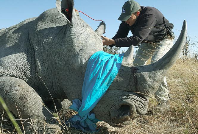 Protecting the black and white rhinos of Botswana