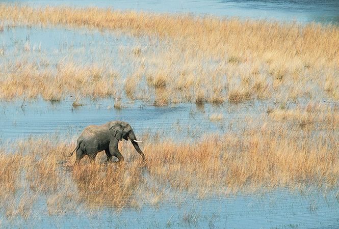 Elephant on the Okavango Delta
